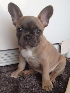 Images Of Newborn Lilac French Bulldogs Dogs Breed French