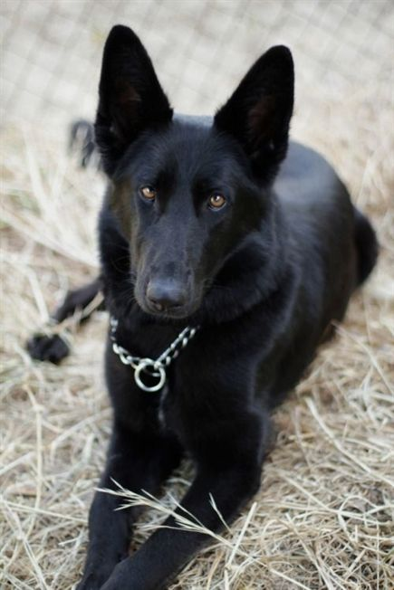 250 German Shepherd Puppies Bargain Pages Dogs And Puppies