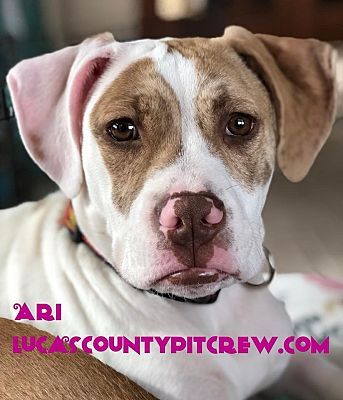 Toledo Oh American Staffordshire Terrier Meet Ari A Dog For Adoption With Images American Staffordshire Terrier American Pitbull Terrier Pitbull Terrier