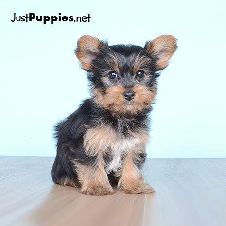 Bulldog Puppy For Sale In Orlando Fl Adn 26786 On Puppyfinder