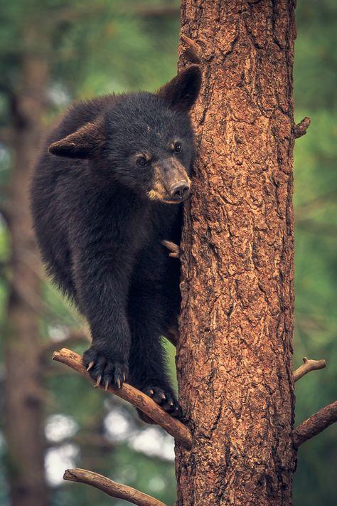 Bear Cub in the Trees - Taken at Bearizona Wild Animal Park, Williams, Arizona