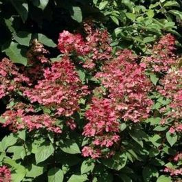 Fire Ice Hydrangea 6 Hours Of Sun Early Spring Prune The Top To A Tight Dome When It Reaches The Size You Want Remember Garden Yard Ideas Hydrangea Shrubs