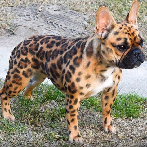 Whoa—French Bulldog painted as a Cheetah for Halloween❤