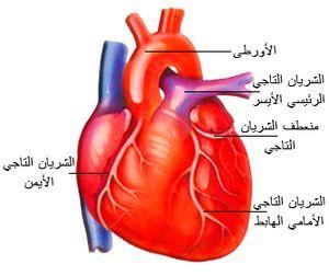 معلومات عن القلب والامراض التي تصيبه