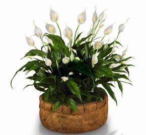 Skrzydlokwiat House Plants Plants Indoor Plants