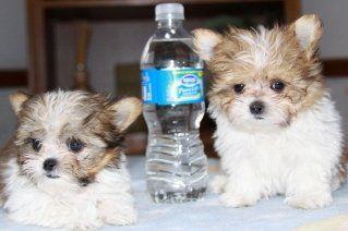 Ethical Show Mi Ki Breeder Of Healthy Mi Ki Puppies In
