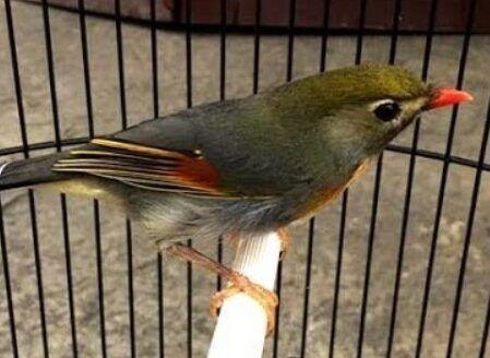 Bagi Anda Pecinta Burung Kicau Tentu Saja Anda Akan Mengenal Dan Menyukai Burung Satu Ini Beberapa Burung Kicau Tersebut Memiliki Burung Robin Makanan Burung