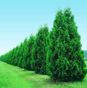 Outstanding Fastest Growing Plants For Privacy Pictures - Best ...
