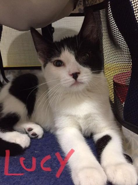 Adopt Lucy On Cat Birthday Cats Cats Bus