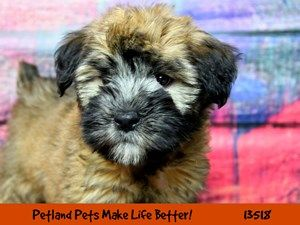 Dogs Puppies For Sale Petland Chicago Ridge Illinois Pet Store Puppies Wheaton Terrier Soft Coated Puppies For Sale