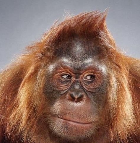 Orangutan, so easy to recognize the expressions of the big apes