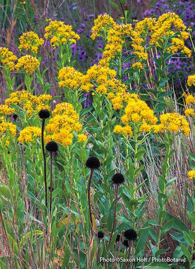 The Best Goldenrods For Your Garden Perennials Native Plants Cool Plants