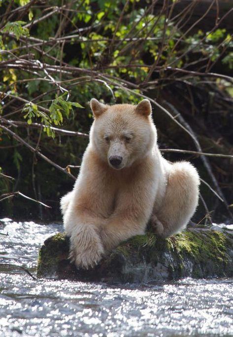 Great Bear Rainforest British Columbia, Canada | Kermode bear, Great Bear Rainforest, British Columbia, Canada