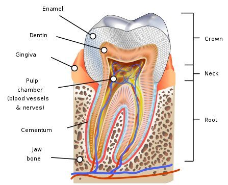 Crown Of Tooth Enemal Dentin Gingiva Anatomical Structure Www Anatomynote Com Teeth Diagram Human Teeth Teeth