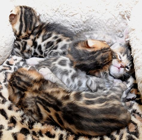 New Litter Of Bengal Kitties Bengal Cat Bengal Kitten Bengal Cat For Sale