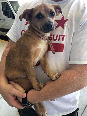 Springfield Va Chihuahua Meet Tuffy A Dog For Adoption Chihuahua Dog Adoption Pet Adoption