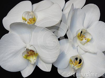 A White Orchid Bloom Blossom Bunch On Black Background Exquisite Blooming Stylish Orchid Bouquet Orchid Flowers P Bloom Blossom White Orchids Orchid Bouquet