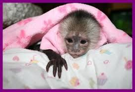 Friendly Monkeys For Adoption Contact Us At 954 604 6841 We Are Searching For A Good Home For Our Capuch With Images Pet Monkey Capuchin Monkey Baby Monkey