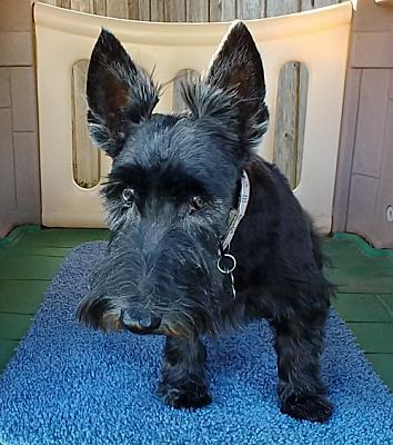 Dallas Tx Scottie Scottish Terrier Meet Shelby Needs Your Help A Dog For Adoption Pet Adoption Scottish Terrier Pets