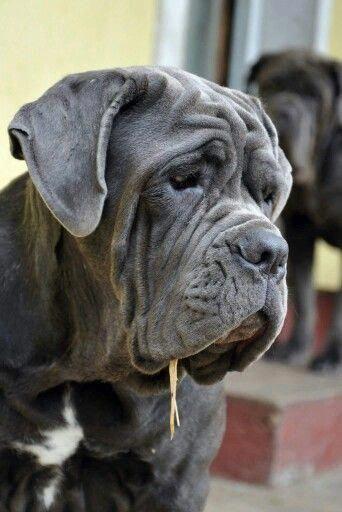 Everything We All Adore About The Dignified Big Mastiffs Mastiff Italianmastiff Dogs Mastiffs Mastiff Puppies