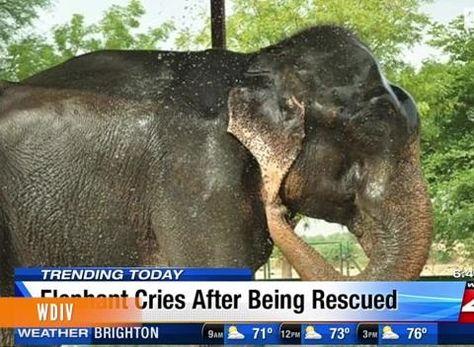 Raju The Elephant S Tears Of Joy Elephant Gets Freed From Life Of Slavery Elephant Tears Of Joy Rescue