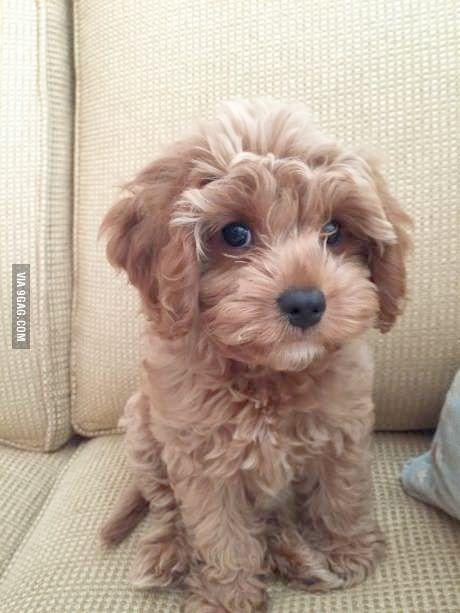 Beautiful Maltese Shih Tzu Puppies Price 300 For Sale In Maltese Shih Tzu Shih Tzu Puppy Cute Dogs