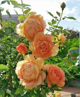 بوكيهات ورد شيك جدا اجمل صور بوكيهات ورد شيك جدا اجمل بوكيه ورد طبيعي Flowers Rose Instagram