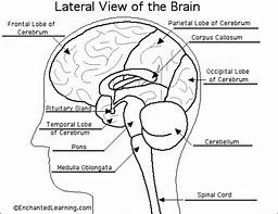 Image Result For The Biology Coloring Book Pdf Brain Anatomy