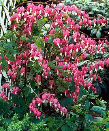 Van Zyverden Bleeding Hearts Bare Root Set Of Five Garden Flowers Bleeding Heart Plant Bleeding Heart Flower Garden