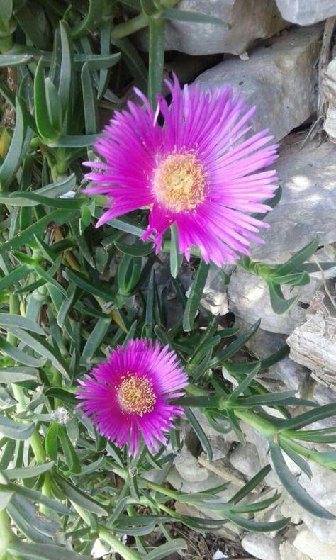 زهرة حي العلم Plants