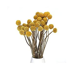 30 Stems Dried Craspedia Flowers Decorative Preserved Billy Balls Dry Bouquet For Wedding Floral Arrangements 20 24 Tall Home Decorations Silk Flower Arra In 2020 Flower Petals Wedding Floral Arrangements Wedding Dried Bouquet