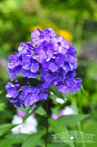 Byliny Lucyny Plants Paradise Blue