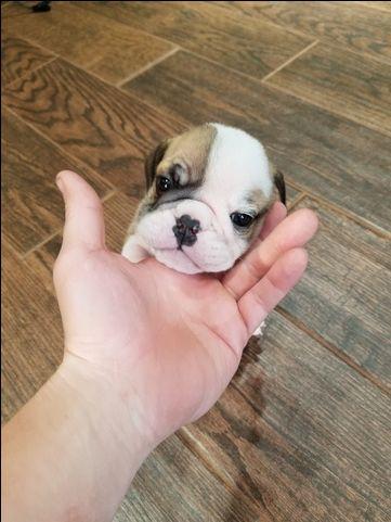 Litter Of 4 English Bulldog Puppies For Sale In Woodbridge Va