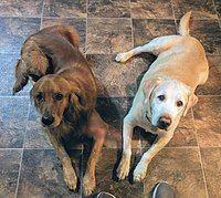 Labrador Retriever Wikipedia Labrador Retriever
