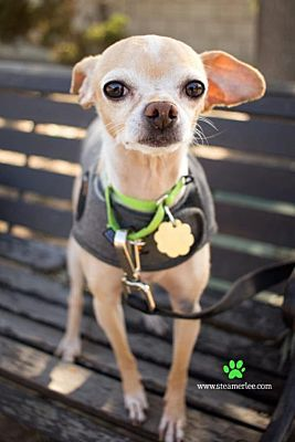 Seal Beach Ca Chihuahua Small Meet Paulie A Dog For Adoption