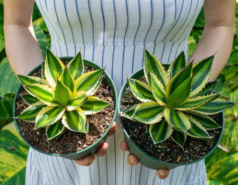 Quadricolor Century Plants