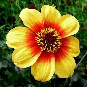 Pin By Mona Moni On Dahlia Winter Flowers In Season Planting Flowers Summer Flowering Bulbs