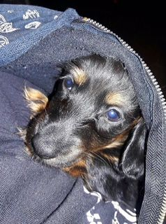 Litter Of 4 Dachshund Puppies For Sale In Rialto Ca Adn 63211 On