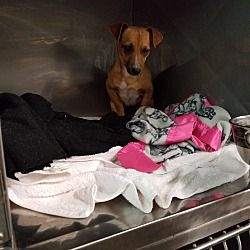 Available Pets At Dusty Puddles Dachshund Rescue In Lubbock Texas