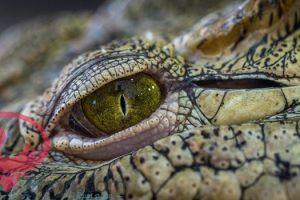 تفسير حلم رؤية التمساح في المنام لابن سيرين Lizard Animals