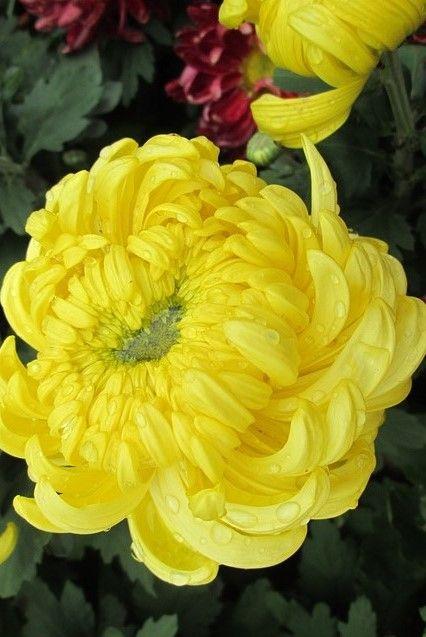 Chrysanthemum Meaning Types Tea Growing Flowersandflowerthings Yellow Chrysanthemum Flowers Beautiful Flowers