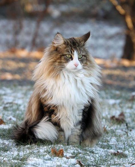 The Norwegian Forest Cat is strongly built and larger than an average cat. Adult females of the species will typically weigh in at 3.5 - 4.5 kg (7.7 - 10 lbs), while males tends to weigh in at 5.5 to 7.5 kg (12 - 16.5 lbs) .
