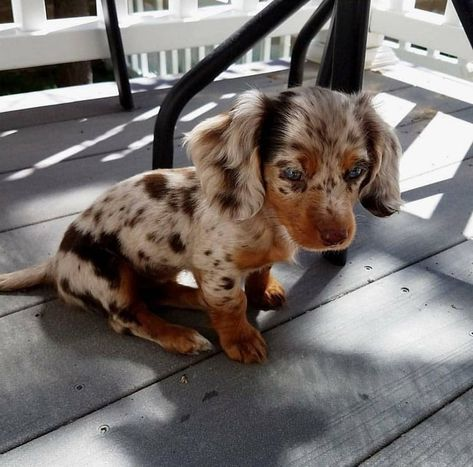 The Diverse Dachshund Breed - Champion Dogs Baby Animals Pictures, Cute Animal Pictures, Cute Little Animals, Cute Funny Animals, Beautiful Dogs, Animals Beautiful, Dachshund Breed, Dachshunds, Long Haired Dachshund