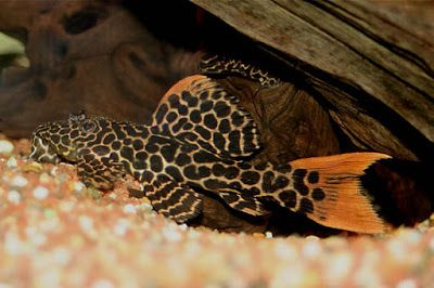 The Great Freshwater Algae Eaters In Fish Tank Leopard Cactus Pleco As They Develop Leopard Cactus Pleco S Are Ty Fish Tank Fresh Water Fish Tank Pleco Fish