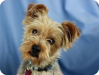 Cookeville Tn Yorkie Yorkshire Terrier Meet Jackson A Dog For