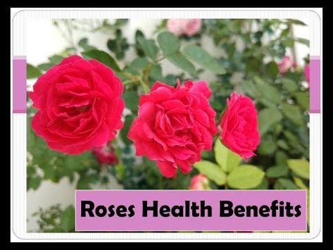 Asmr Roses Health Benefits Youtube With Images Rose Health Benefits Health