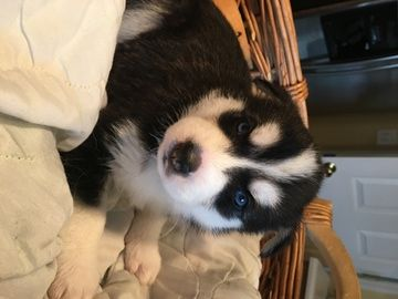 Litter Of 7 Siberian Husky Puppies For Sale In Union Ky Adn
