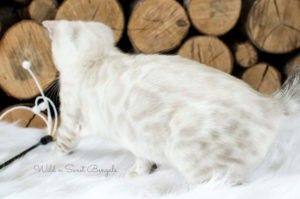 Bengal Kittens Cats For Sale Near Me Wild Sweet Bengals
