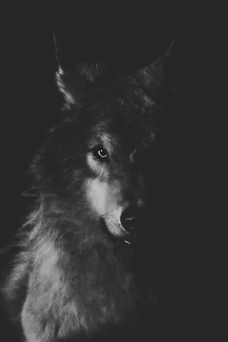 Wolf In The Shadows Wolf Wallpaper Wolf Pictures Wolf