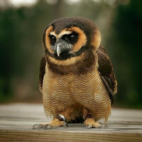 Asian brown wood owl. The metal leg straps make me sad.  However, I love the personality in this owls face and stance.